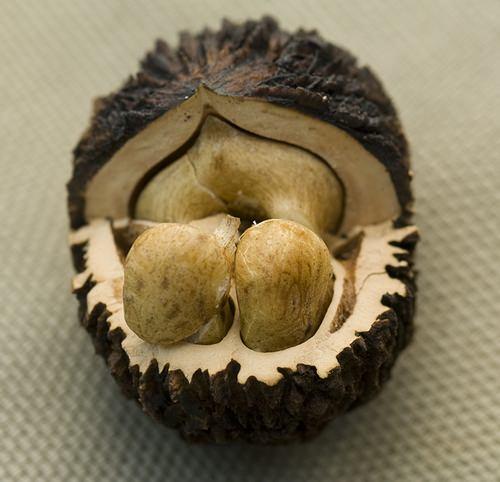 Плоды черного грецкого ореха обладают невероятной пользой