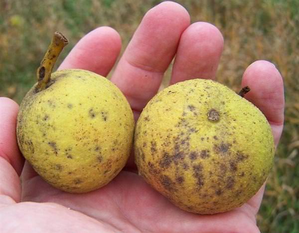 Злоупотребление плодами способно нанести определенный вред организму, что обусловлено слишком высокой калорийностью
