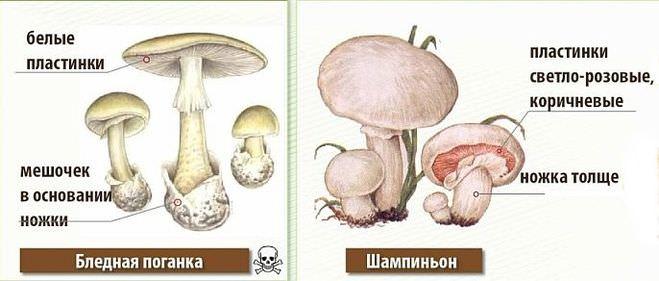 Чтобы вовремя распознать опасный гриб, нужно знать некоторые его особенности