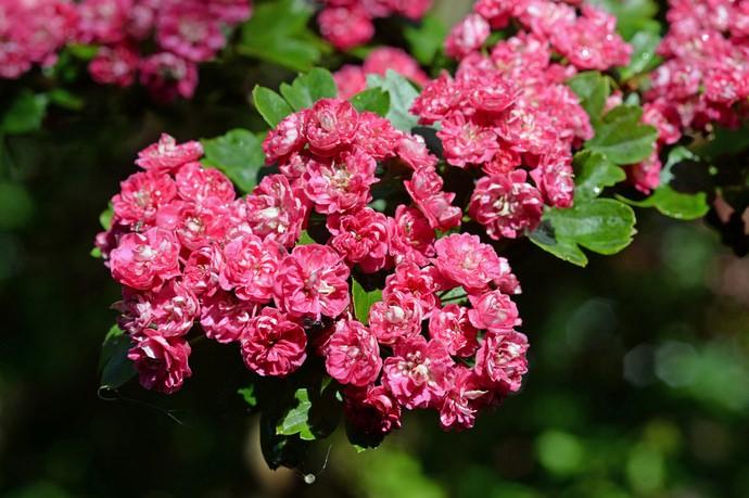 Цветет боярышник не ранее 10-летнего возраста