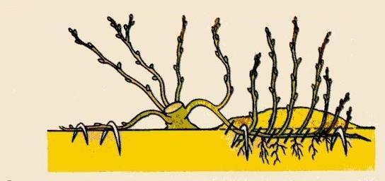 Размножение отводками делается в начале сезона