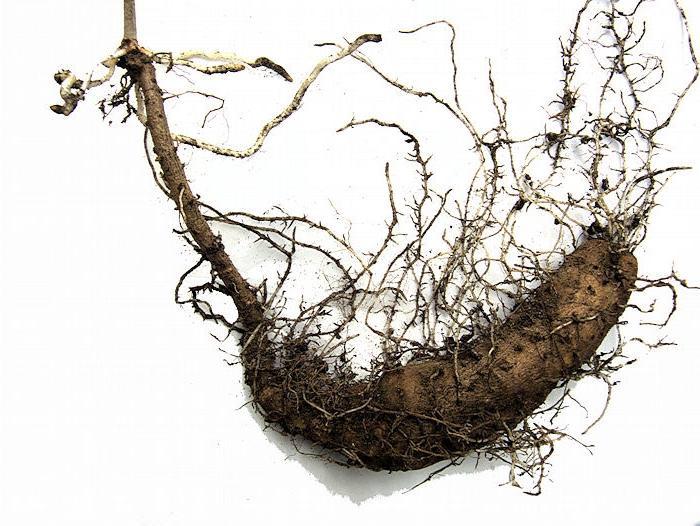 Адамов корень (тамус обыкновенный) применение в народной медицине, рецепты, другое название травы