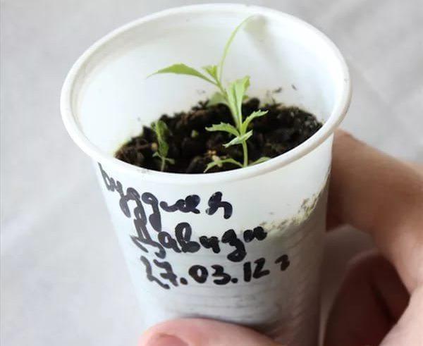 Многие садоводы-любители предпочитают посадить листопадную декоративную культуру семенами