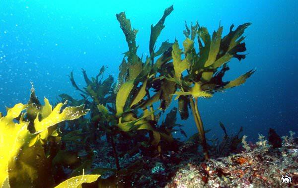 Бурая водоросль содержит множество полезных веществ