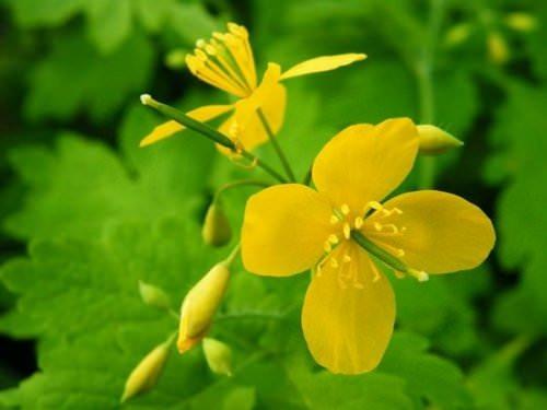 Чистотел – это растение, которое знакомо практически всем