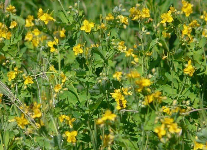 Чистотел является многолетним растением и предпочитает селиться на открытых местах с легким затенением