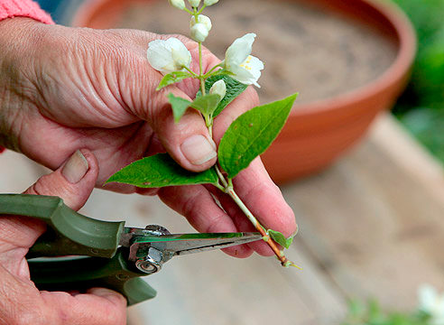 Наиболее надежный метод размножения чубушника – это черенкование