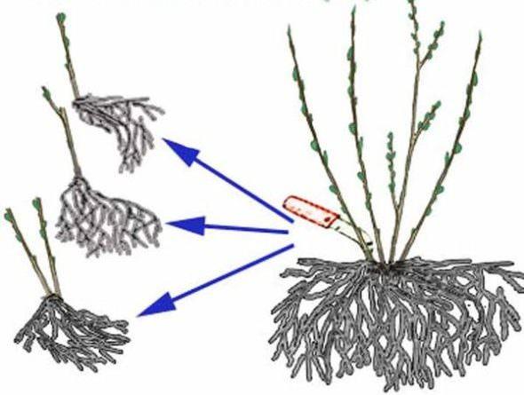Делением куста можно размножать чубушник как весной, так и осенью