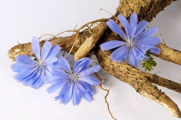 В народных рецептах используются стебли, листья, цветки и корень цикория