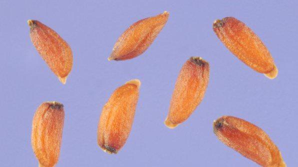 Цитварное семя главным образом применяется в борьбе с паразитами, особенно аскаридами