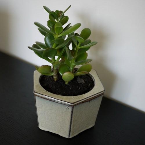 Крассула — суккулентное растение, относящееся к семейству Толстянковые