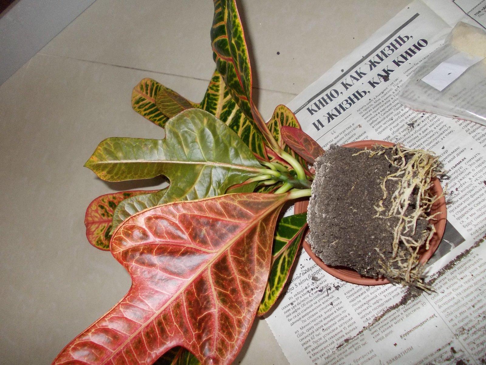 пересаживать комнатный цветок после покупки обусловлена часто реализацией растений в транспортировочном грунте