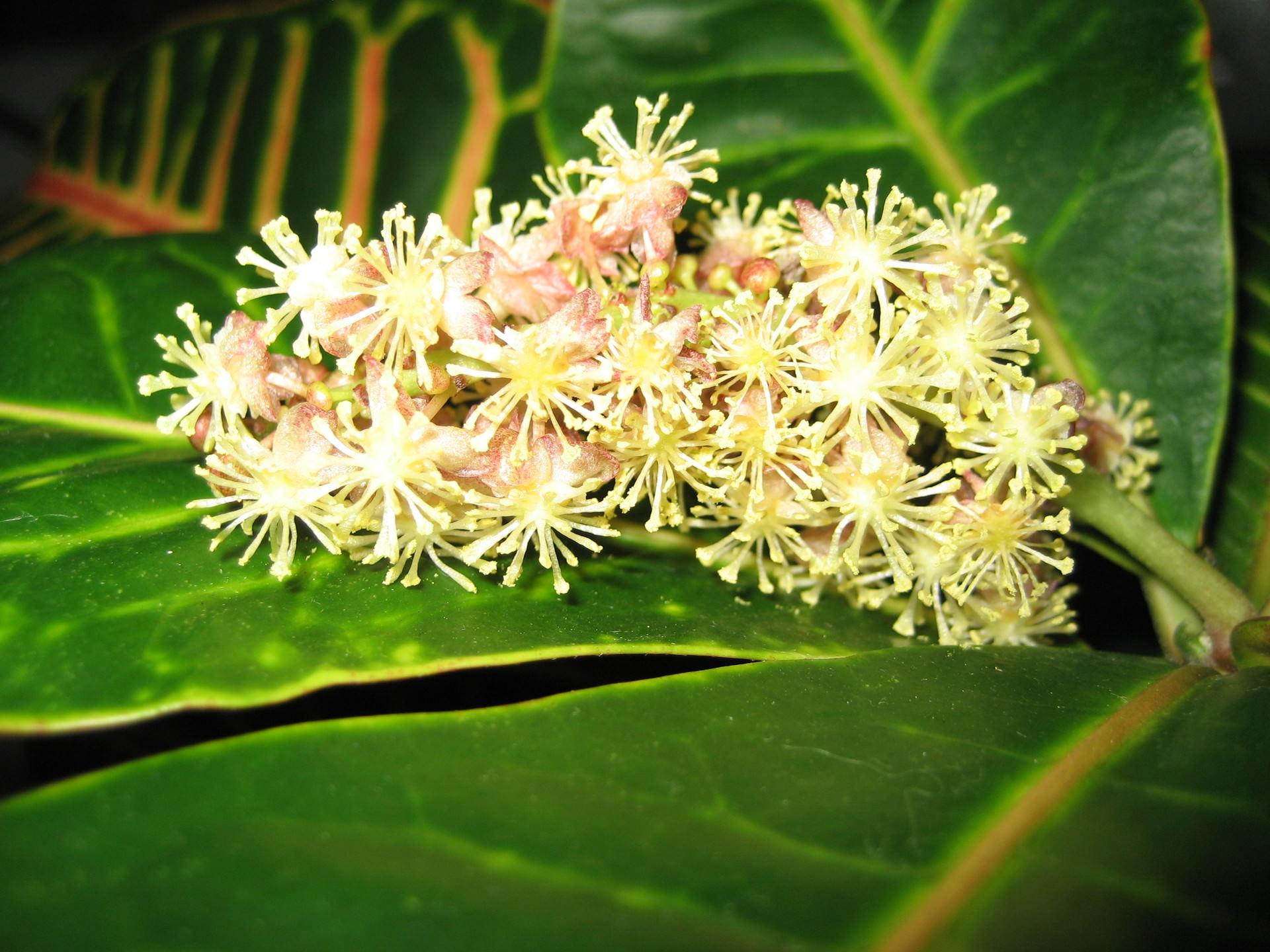 Кодиеумы – цветущие декоративные растения