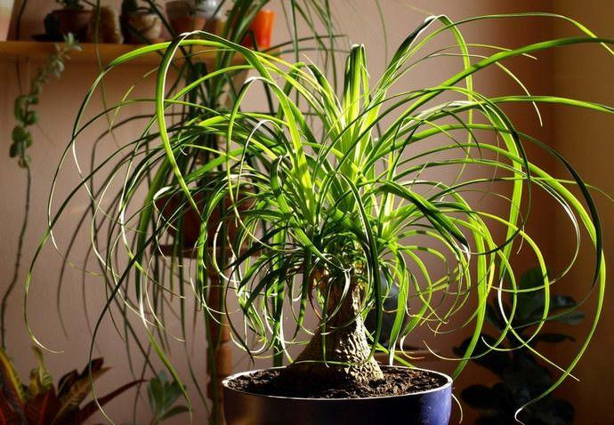 Комнатная нолина не слишком быстро растёт, поэтому этоневысокое растение