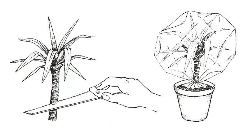 Размножение декоративной комнатной культуры можно производить отделением верхушечных побегов