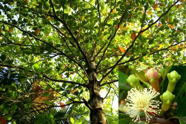 Гвоздичное дерево – это вечнозеленое растение, которое достигает размеров кустарника или небольшого деревца