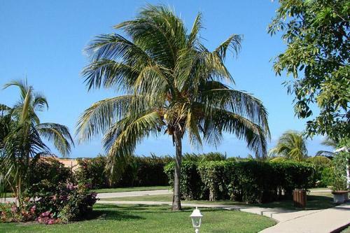Полезность кокосовой пальмы является всеобъемлющей