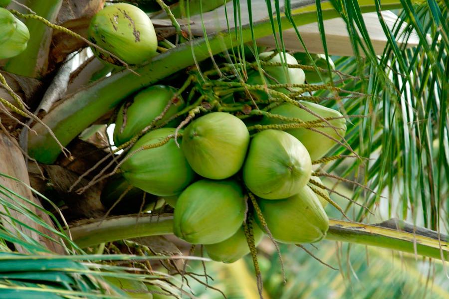 Плод кокосовой пальмы, с ботанической точки зрения, костянка