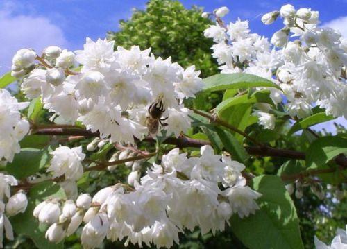 Дейция — кустарниковое или древесное растение из семейства Гортензиевые