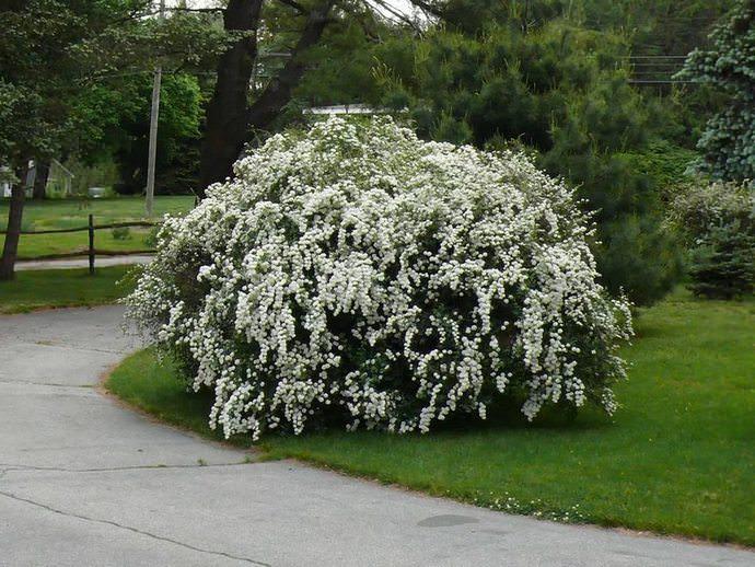 Характерная особенность дейции представлена очень обильным и длительным цветением с последней декады весны