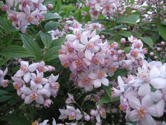 Сорт Монт роуз зацветает с июня по июль и очень хорошо растет и развивается на любых типах почвы
