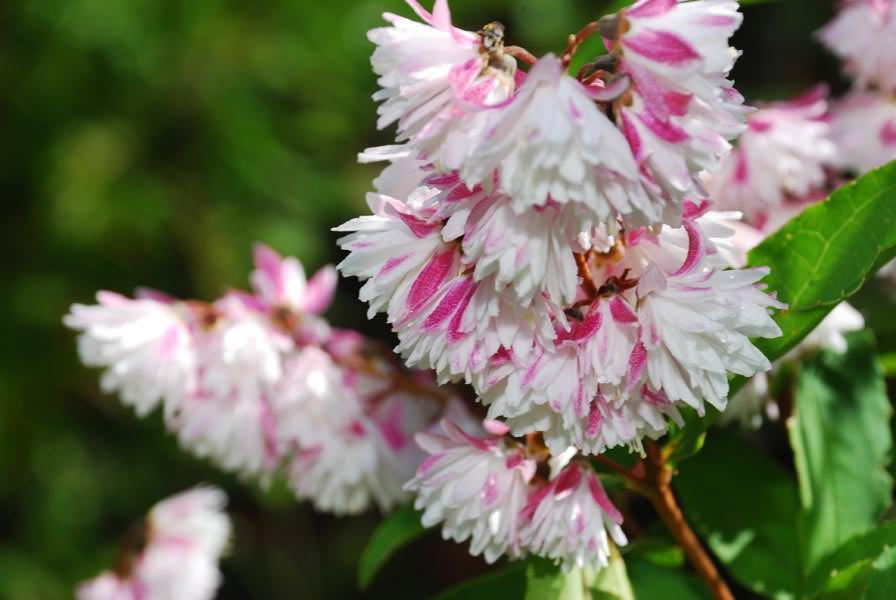 Дейция отличается очень обильным и изящным цветением, способным украсить любое садовое пространство
