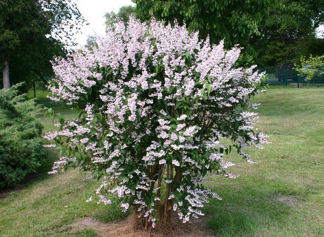 Плена является кустарниковым среднерослым многолетником с зеленой листвой и белыми или розовыми цветками
