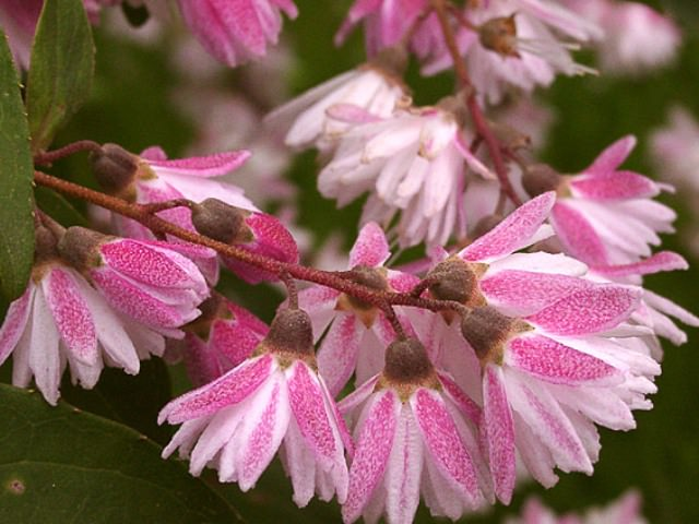 Дейция розовая (D.rоsеа)