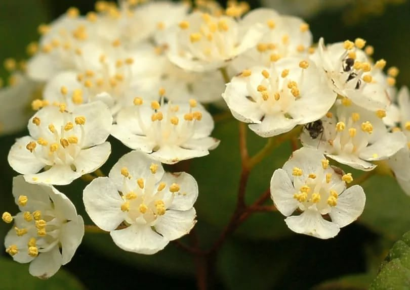 Дейция амурская, или мелкоцветная (D.аmurеnsis)