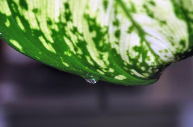 Бывает так, что на листьях диффенбахии образуются капли, цветоводы называют это диффенбахия плачет