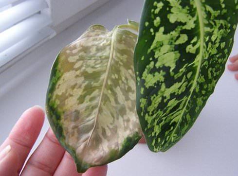 у диффенбахии сохнут кончики листьев что делать