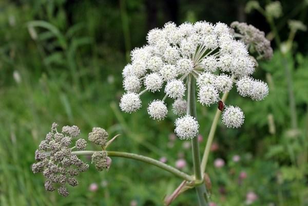 Дудник – многолетнее травянистое растение