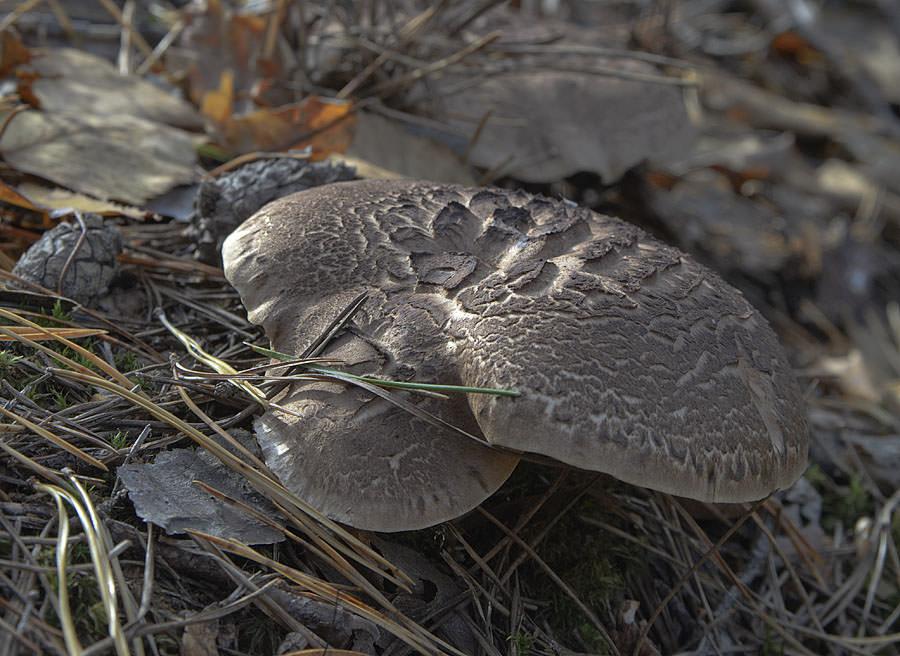 Ежевик пестрый (черепитчатый)