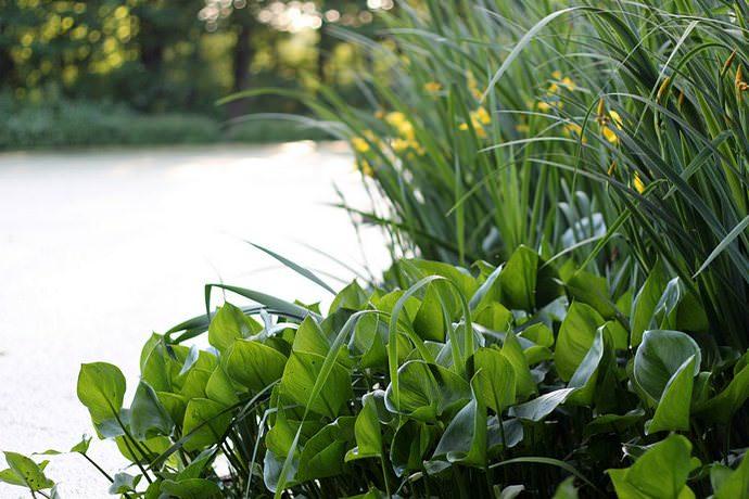 Одним растений, подходящих для границы мелководной и заболоченной зон, является белокрыльник болотный