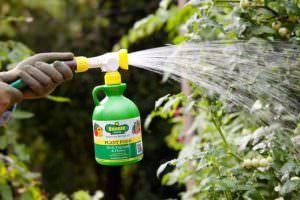 Применение препарата Фитоспорин-М обуславливается необходимостью осуществлять защиту, как садово-огородных культур, так и декоративных комнатных растений