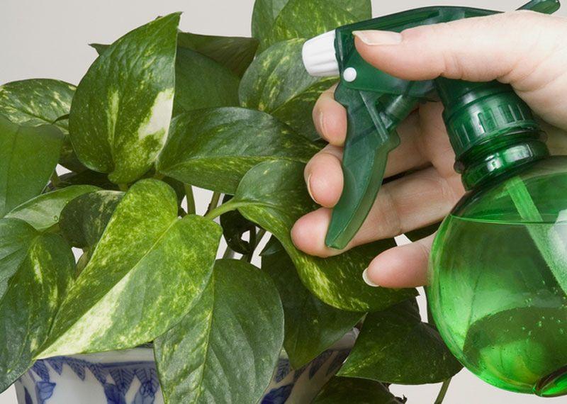 Для опрыскивания комнатных растений следует разводить пяти капель концентрата в 5 л воды