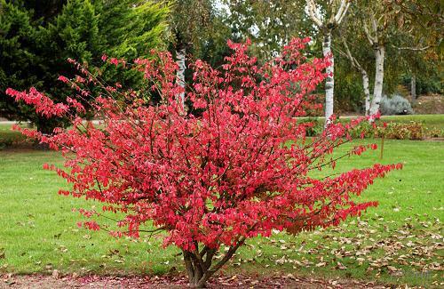 Форзиция: советы по осеннему уходу за предвестницей весны
