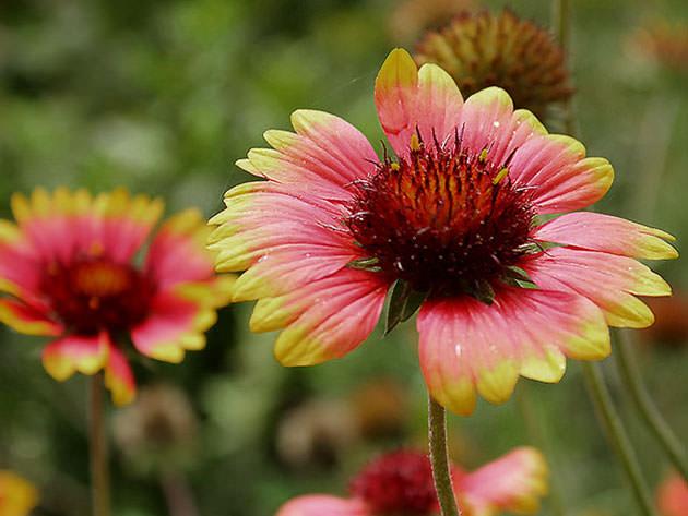 Гайлардия крупноцветковая зацветает в начале лета