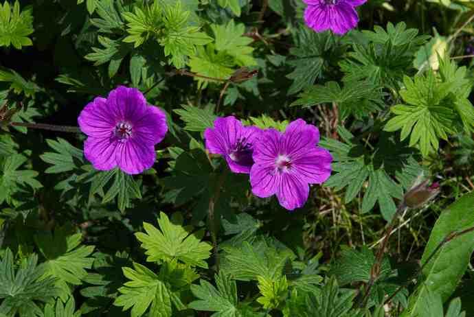 Целебные свойства цветка объясняются многочисленными полезными веществами, которые имеются в составе герани