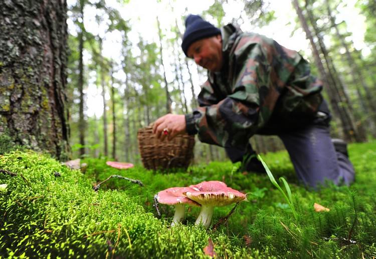 Плодовые тела съедобных видов активно растут и развиваются на опушках, а также полянах, в перелесках и низком разнотравье