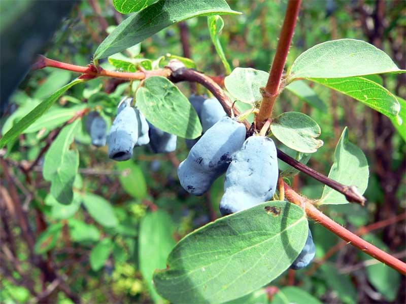 Сбор урожая и период покоя у кустарника наступает в более ранние сроки, чем у большинства плодовых деревьев