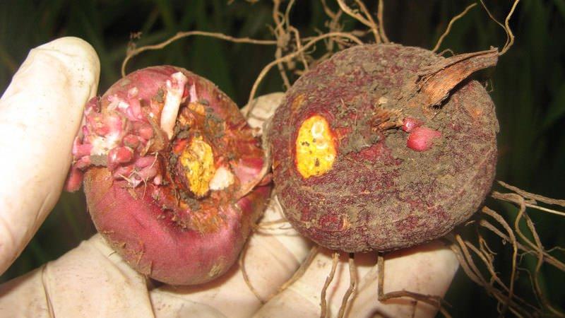 Луковицы сушат несколько дней при тридцатиградусной температуре и месяц – при температуре на десяток градусов ниже