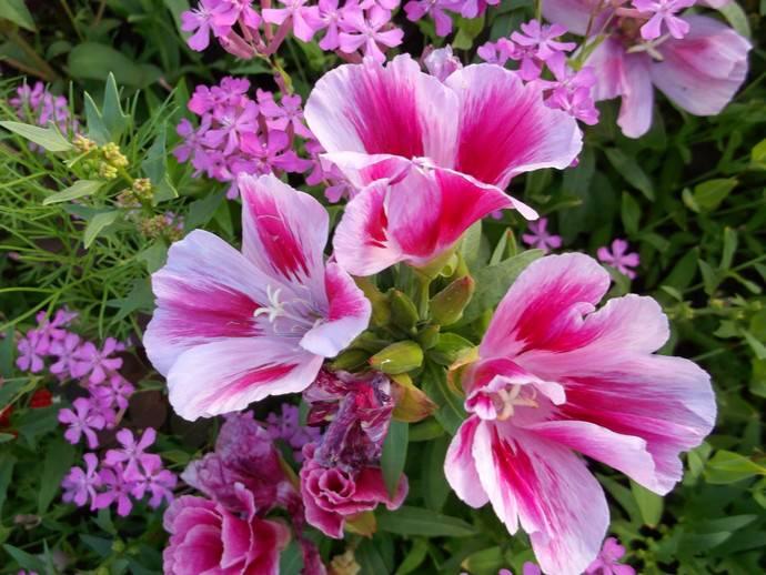 Годеция выращивается в открытом грунте и в домашних условиях