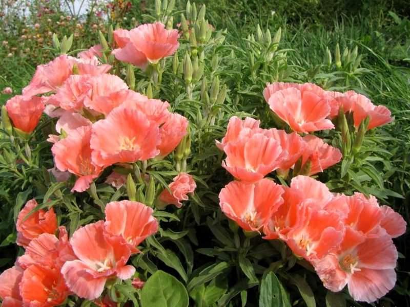 Годеция активно используется для выращивания на всех видах цветников и клумб