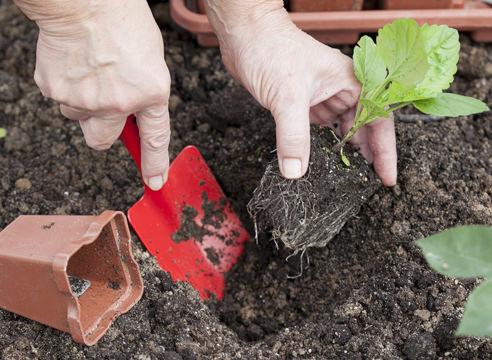 Высадка в цветники или вазоны производится после того, как минует угроза поздних весенних заморозков