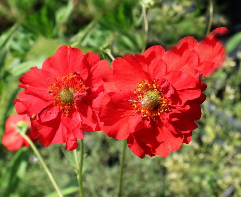 Очень популярным и востребованным у отечественных цветоводов-любителей является сорт Красный Дракон