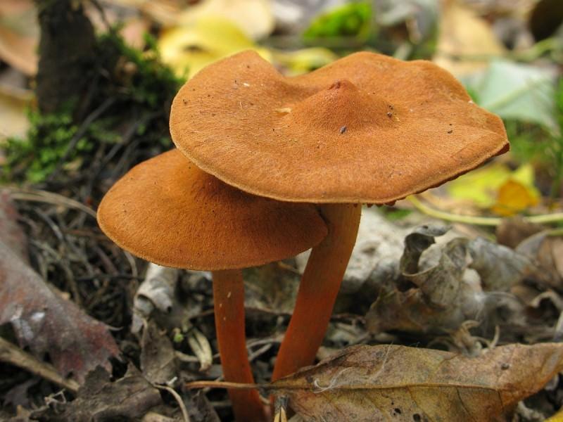 Паутинники растут в основном в лиственных или смешанных лесах