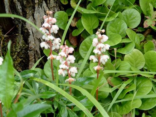 Грушанка круглолистная — многолетнее цветковое растение, относящееся к роду Грушанка и семейству Вересковые