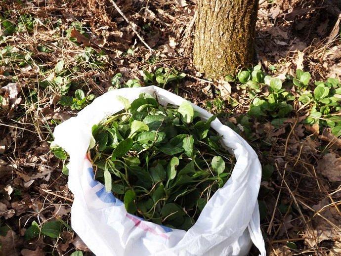 Для сбора используют розетку из скученных листьев, которая растет у основания надземной части