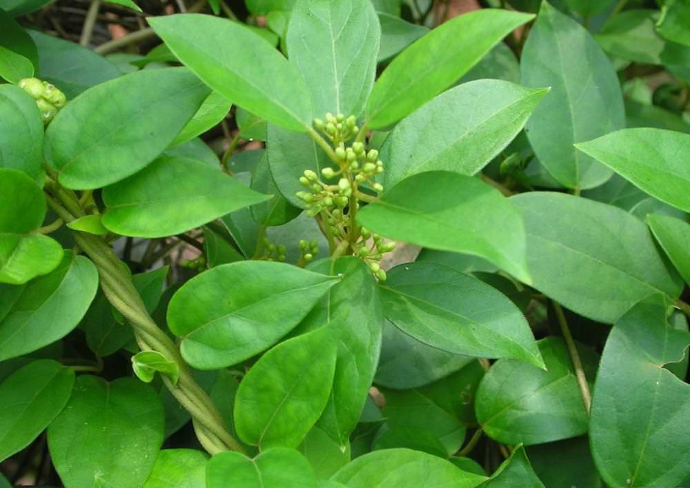 Сильноветвистая лиана относится к тропическим растениям